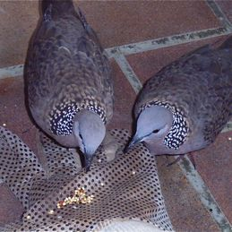 Feeding Spotted Dove: 6. Affection