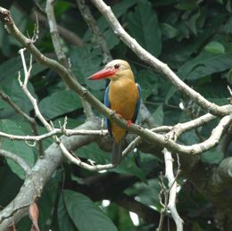 Stork-billed Kingfisher catching armoured catfish