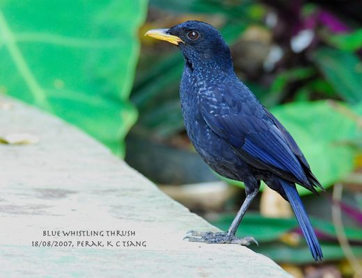 Whistling Thrushes in Malaysia