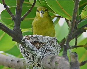 Nesting of Common Iora
