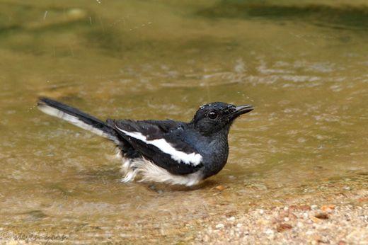 Bathing Oriental Magpie Robin