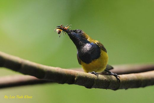 Olive-backed Sunbird taking spider