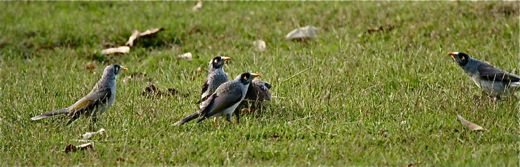 Noisy Miners harassing a Spotted Dove