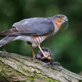 <strong>Eurasian Sparrowhawk: Courtship and nesting</strong>