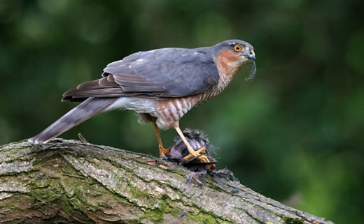 Eurasian Sparrowhawk: Courtship and nesting
