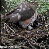 Sparrowhawk live on web-cam