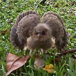 Owl @ Pasir Ris Park