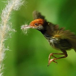 <strong>Dark-necked Tailorbird collecting floss</strong>