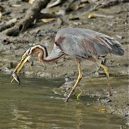 Injured Purple Heron: Seven months on