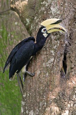 Oriental Pied Hornbill breaking out of her nest