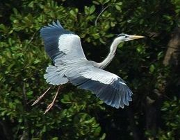 Herons in flight