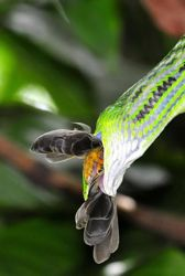 Oriental whip snake having Olive-backed Sunbird for lunch