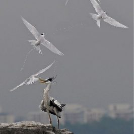 Black-naped Terns and projectile vomiting: Published!