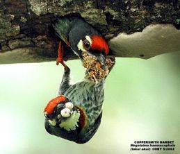 Coppersmith Barbet chicks with a steely spirit