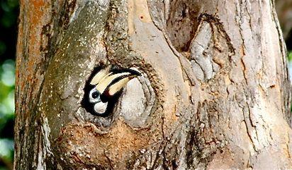 Changi hornbill inside nest hole