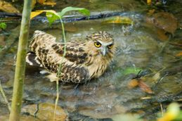 Owl bathing