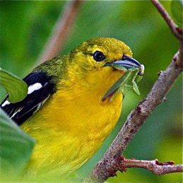 <strong>Common Iora eating praying mantis and caterpillar</strong>