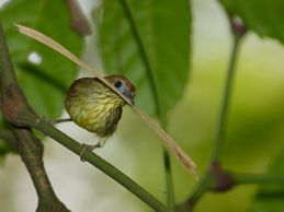 Striped Tit Babbler: A failed nesting