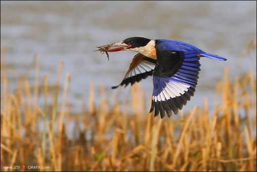 Black-capped Kingfisher catching a fiddler crab
