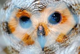 A tragic story of an owl fledgling