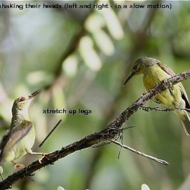 Strange behaviour of a pair of Brown-throated Sunbirds