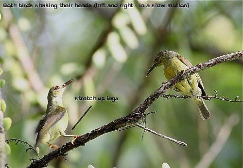 Strange behaviour of a pair of Brown-throated Sunbirds
