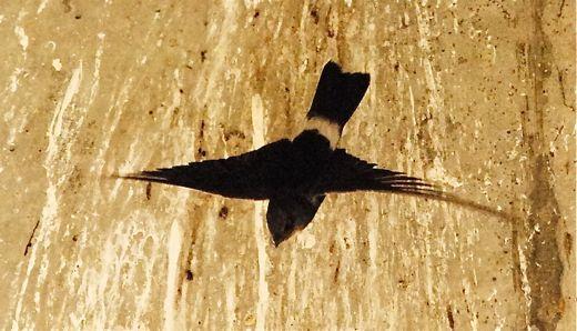 House Swift nesting