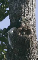 Hornbills at Changi: Sealing herself in