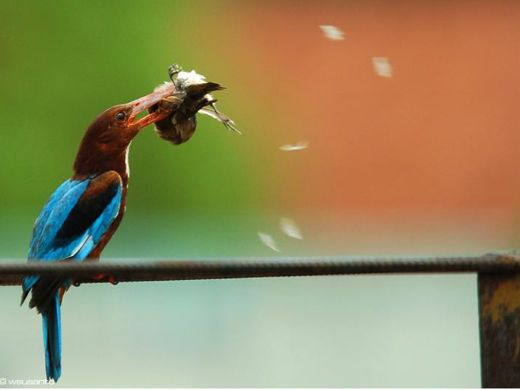 White-throated Kingfisher catching Scaly-breasted Munia
