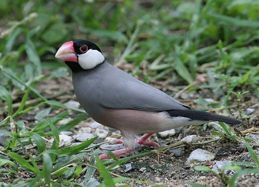 Java Sparrow conservation