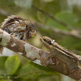 Excitement around a Collared Owlet