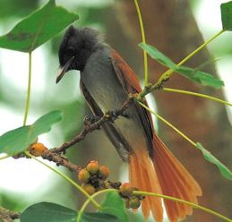 Asian Paradise-flycatcher: Fan-tail flushing