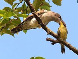Golden-bellied Gerygone and Little Bronze Cuckoo chick