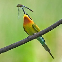 Bee-eaters catching insects