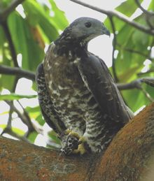 Oriental Honey-buzzard eating paper wasp larvae