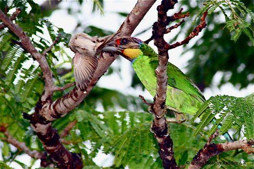 Gold-whiskered Barbet preying on Eurasian Tree Sparrow
