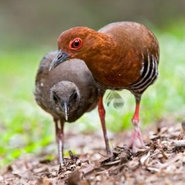 A family of Red-legged Crakes