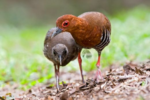 Figure 14. Adult and juvenile Red-legged Crake. Photo by Eric Tan ©