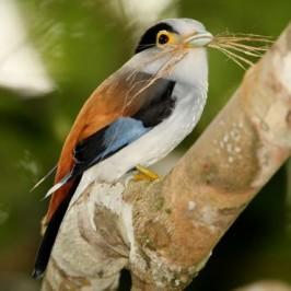 Silver-breasted Broadbill building nest