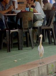 Cattle Egret: A potential urban scavenger?