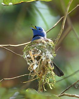 Nesting of Black-naped Monarch
