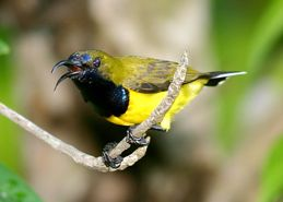 Male Olive-backed Sunbird attacking female