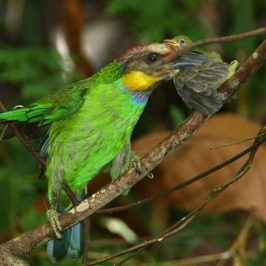 Gold-whiskered Barbet eating a flowerpecker
