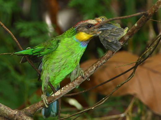 Gold-whiskered Barbet eating a flowerpecker