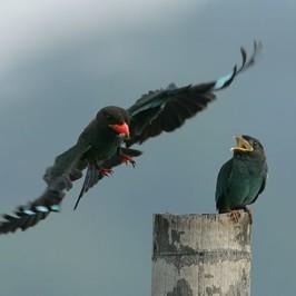 <strong>Dollarbird feeding nestling</strong>