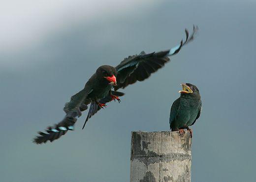Dollarbird feeding nestling