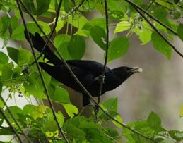 Food of the Asian Koel: <em>Pipturus argenteus</em>