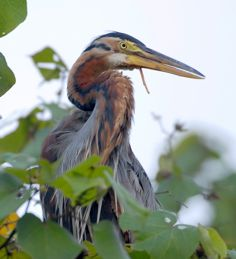 Injured Purple Heron