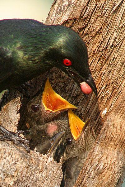 Asian Glossy Starling feeding chicks