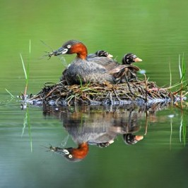 A family of Little Grebes